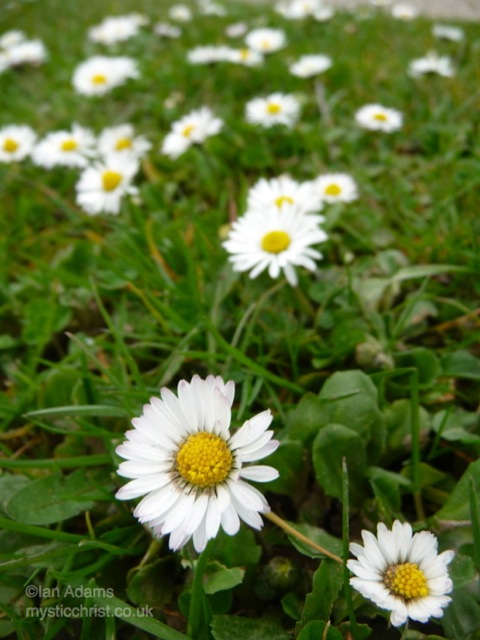 daisy flowers in lawn