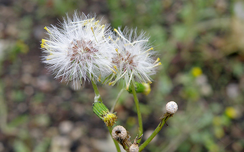 groundsel seed head