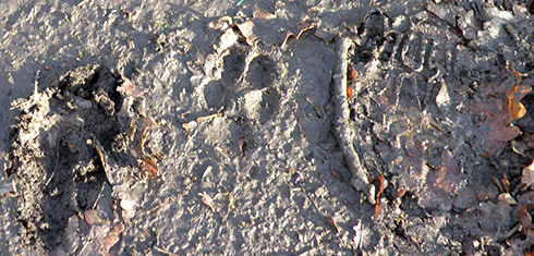 dog prints in mud
