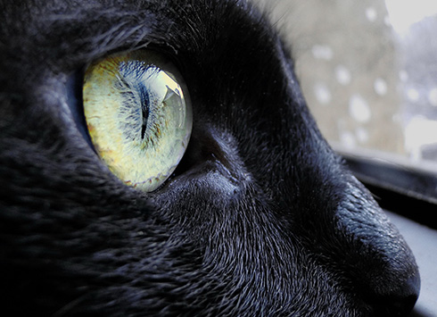cat black cats eye