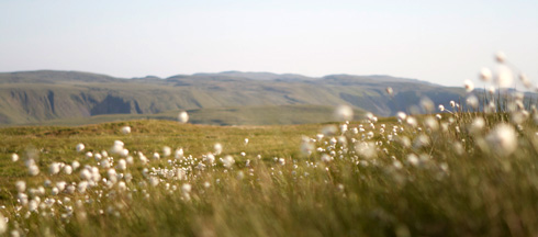 cotton grass, photo taken on the summer solstice, view from just hills near llangurig