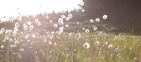 cotton grass in the sunshine
