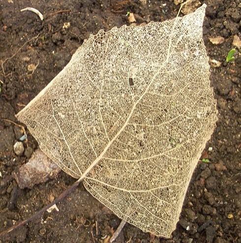 poplar leaf skeleton